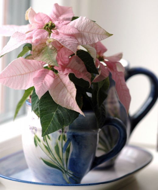 Как ухаживать за пуансеттией, чтобы каждое Рождество в вашем доме расцветала новая «Рождественская звезда»