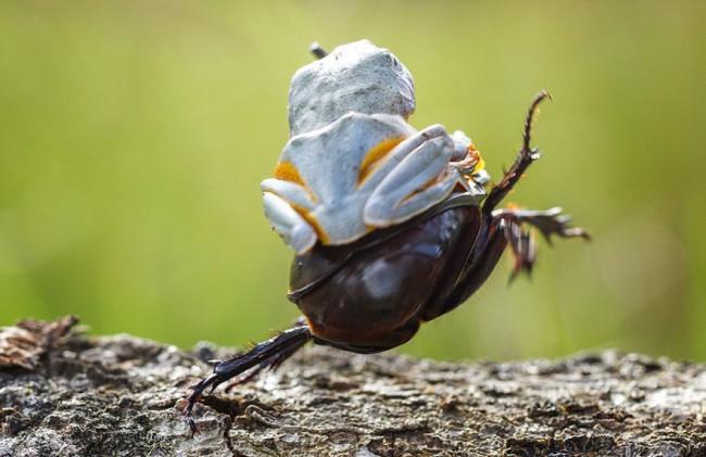 Лягушка устроила родео на жуке животные, коты, юмор