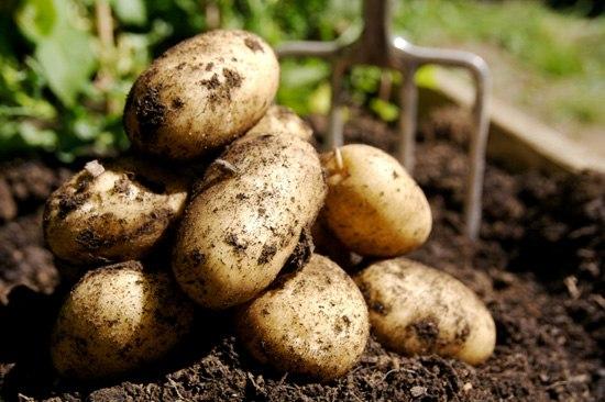 Картофель - богатырская культура