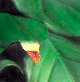 Концы листиев сталь коричневыми от избыточного полива