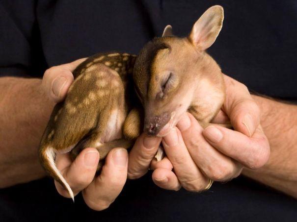 3. Оленёнок детеныши, животные, милота