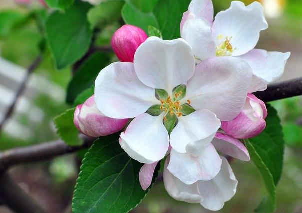 Памятка по борьбе с яблонным цветоедом