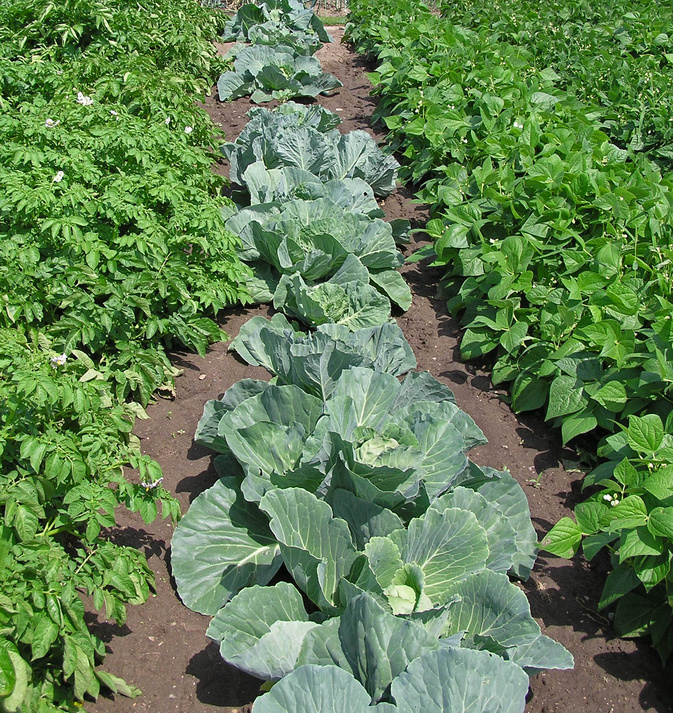 Bonnie Plants Garden Plants For Your Vegetable Garden Or Share The Knownledge