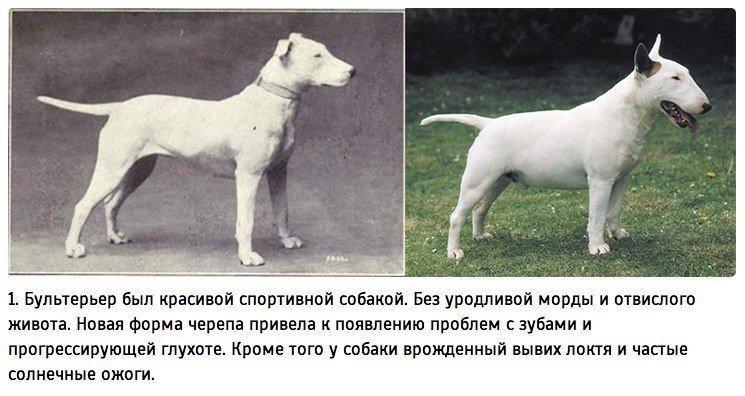 """ТЕРЕМОК. К чему привели 100 лет """"улучшения"""" породистых собак"""