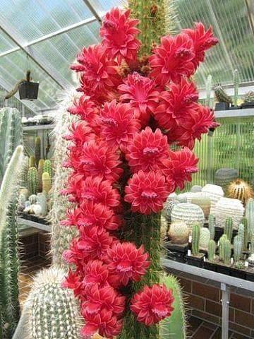 Красота цветущих кактусов