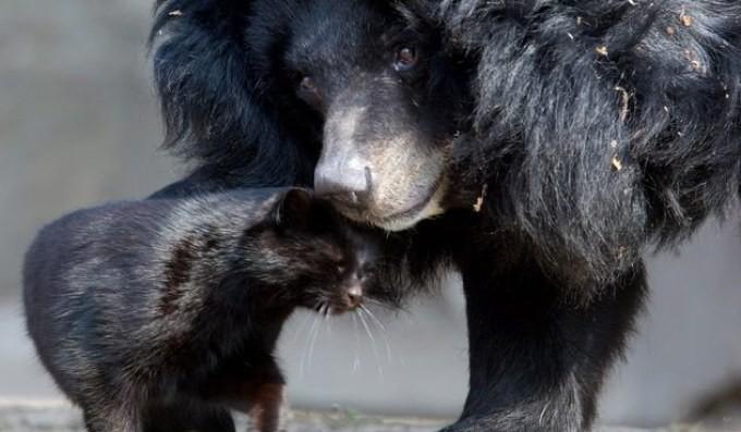 Вопреки законам природы: как медведь заметил кошку