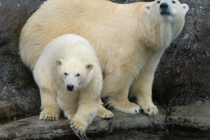 Экологи попросили Путина защитить белых медведей