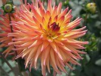 Обои цветы, георгины скачать обои для рабочего стола,картинки на рабочий стол,заставки,изображения из раздела Цветы Георгины