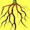 Болезнь растения Гниль корней (гниль клубней)