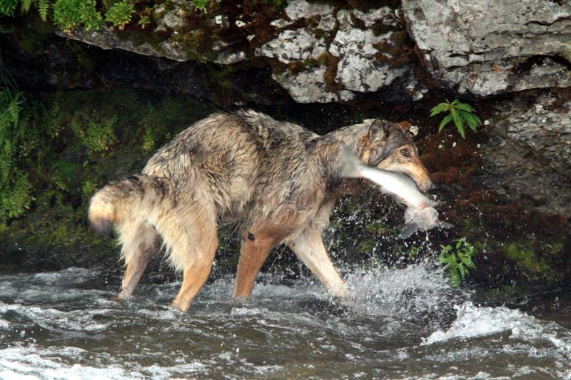 Даже волк умеет ловить рыбу - видео