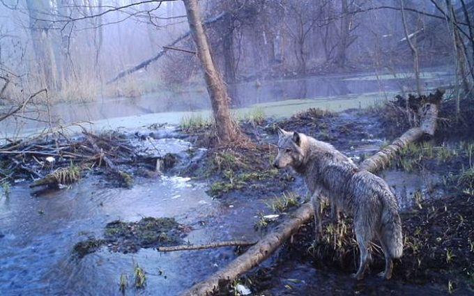 То, что ученые обнаружили в чернобыльском лесу, шокировало весь мир! животные, находка, чернобыль
