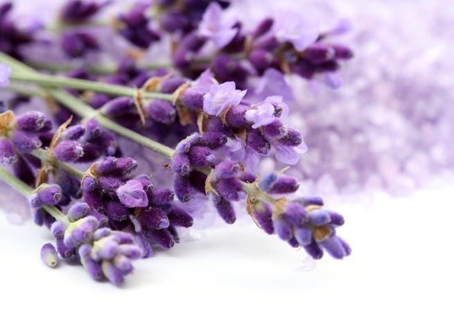 Лаванда – цветок чародеев