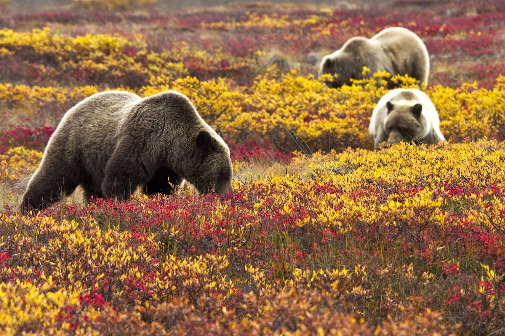 Денали хорошо известен большой популяцией гризли и чёрного медведя