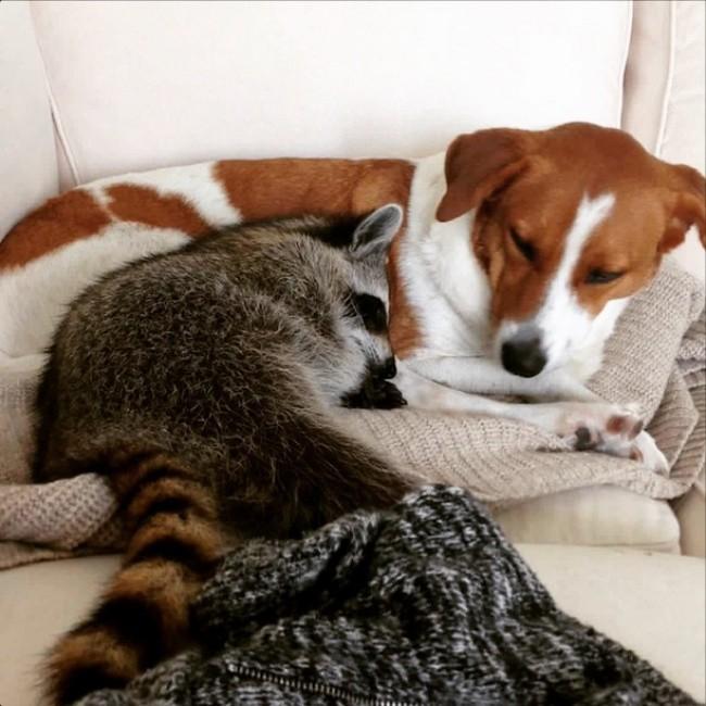 Енот подружился с собакой животные, коты, юмор