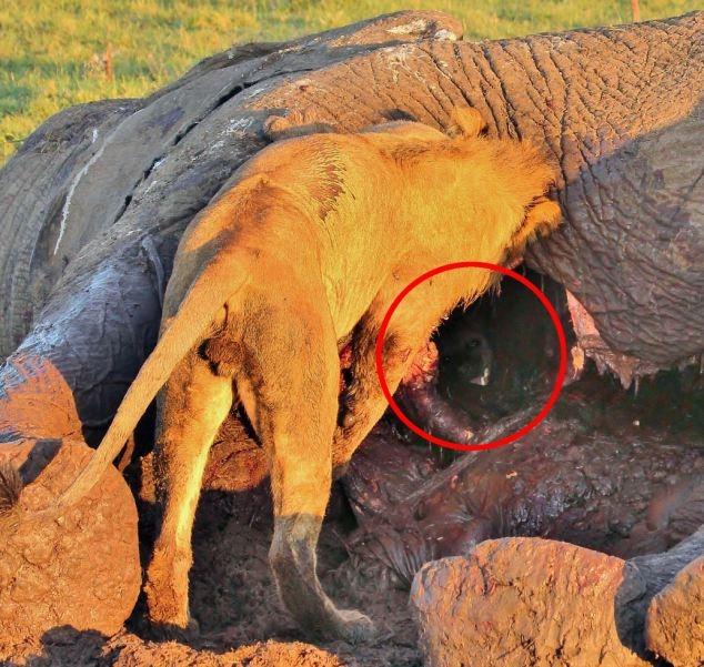 Хитрая гиена нашла крайне необычное место, чтобы спрятаться от львов