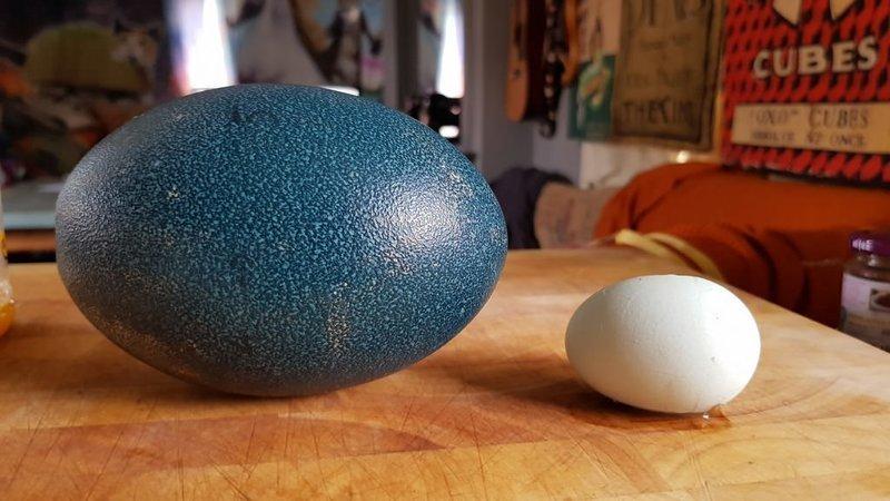Фермер купил страусиные яйца…