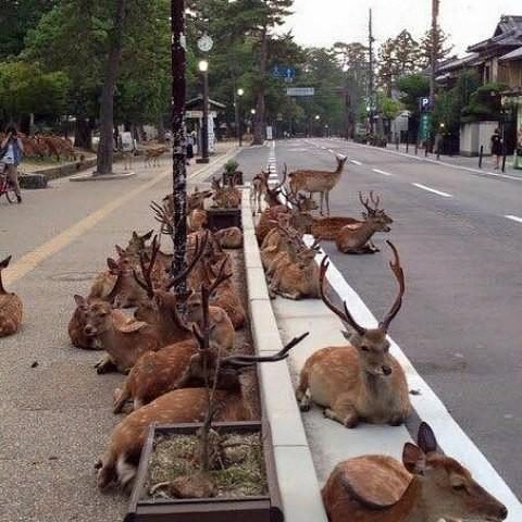 Японский город Нара, в котором олени вместо собак и кошек в мире, люди, прикол, япония