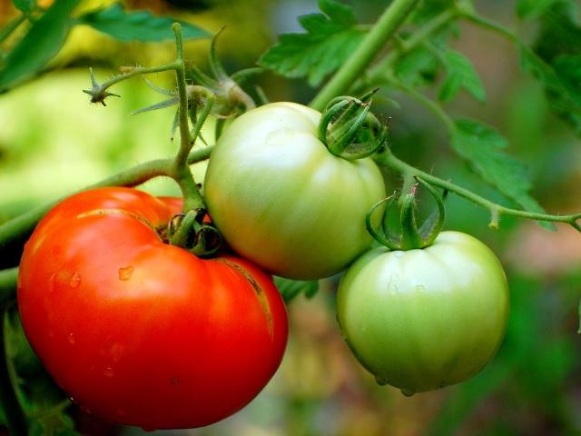 Пять ошибок, которые мешают хорошему урожаю томатов