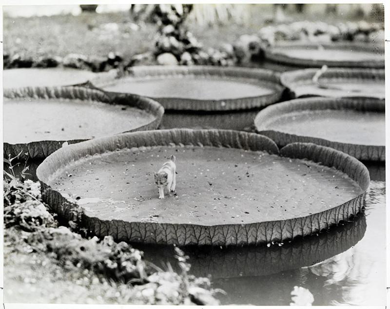 1. Котенок на борту кувшинки Виктория регия. Филиппины, 1935 national geographic, история, природа, фотография