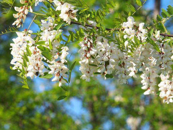 Белой акации гроздья душистые