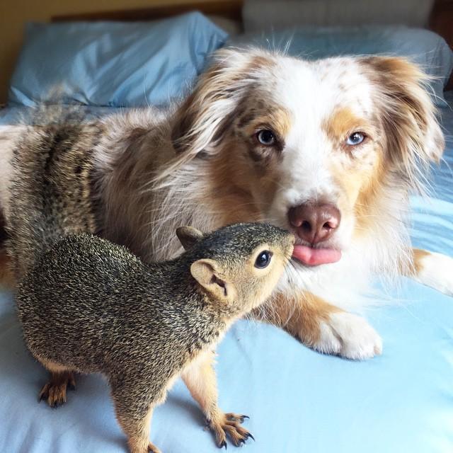 Австралийская овчарка и белка — лучшие друзья!