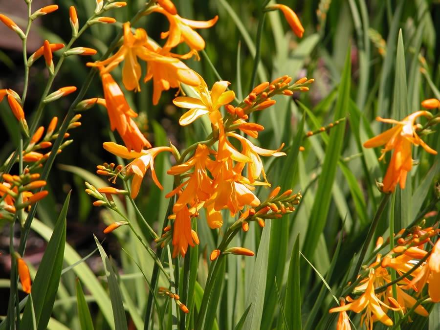 Цветок с листьями похожи на гладиолусы