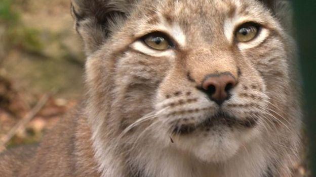 Зоопарк в Уэльсе возмущен убийством сбежавшей рыси