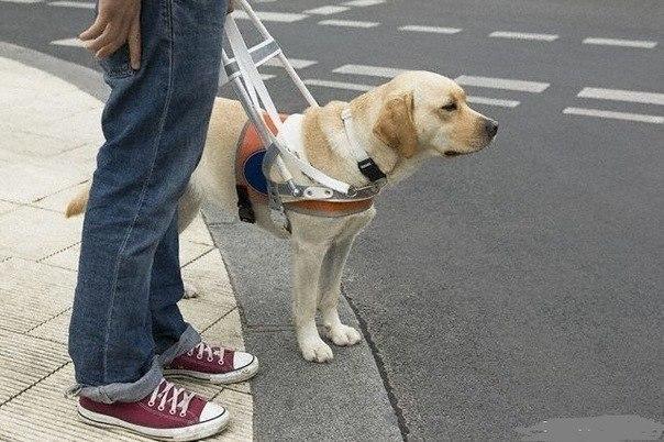 Собака – поводырь, я жму Вам лапу! И кланяюсь Вам, низко, всей душой!