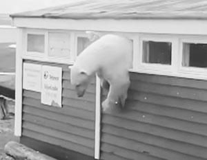 Объевшийся полярный медведь застрял в окне отеля