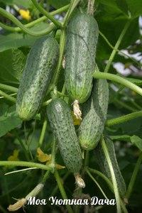 Огурцы сорта артист выращивание 8
