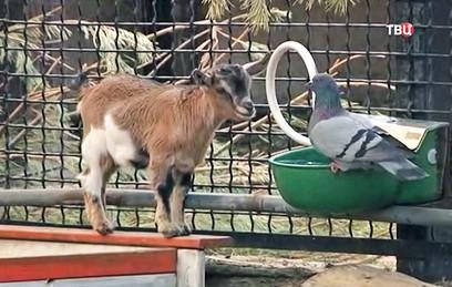 В Московском зоопарке родились 12 камерунских козлят