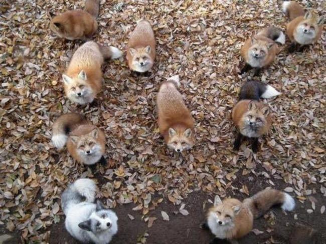 Если вы всегда мечтали вдоволь наиграться с лисами, то этот японский заповедник как раз для вас