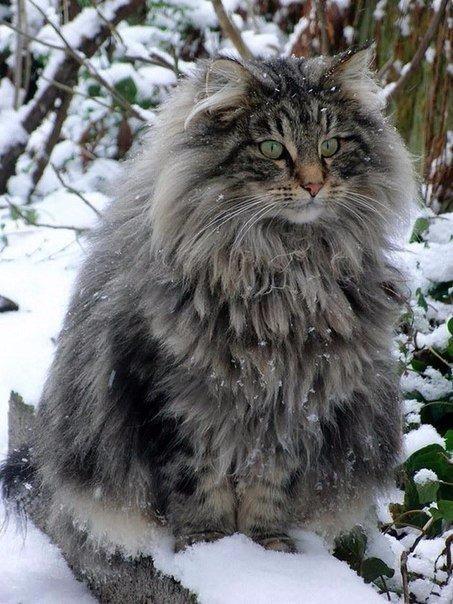 К вашему вниманию - Cамые большие коты в мире.