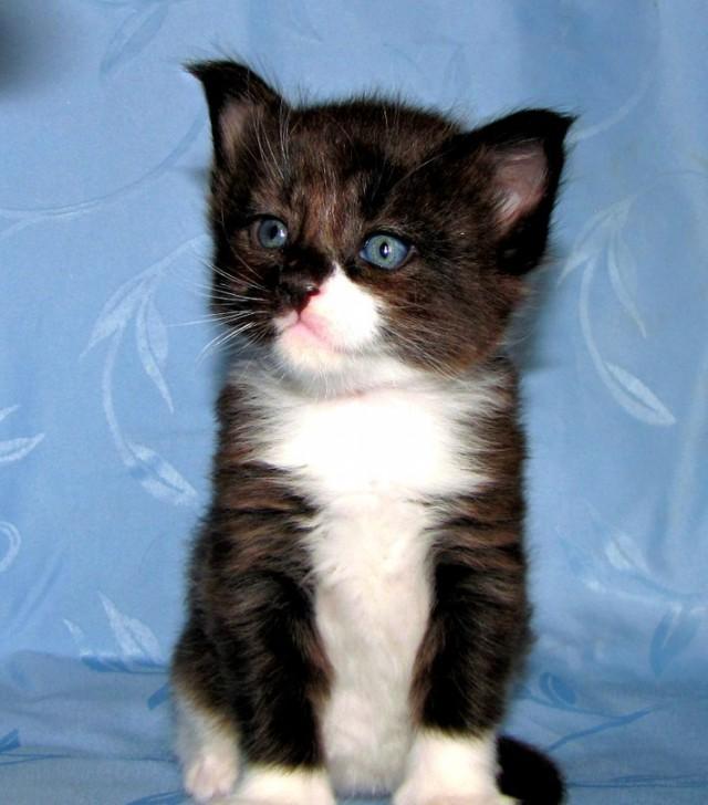 Взяли домой крошечного котенка мейн-куна — полюбуйтесь, каким он стал через год!