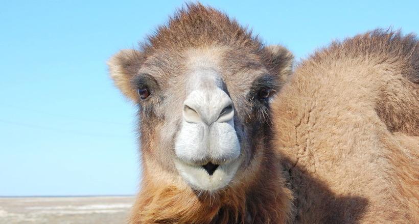 Сколько горбов будет у вербл…