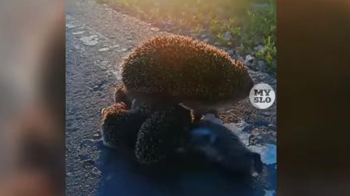 Забавное семейство ёжиков на дороге снял на видео туляк