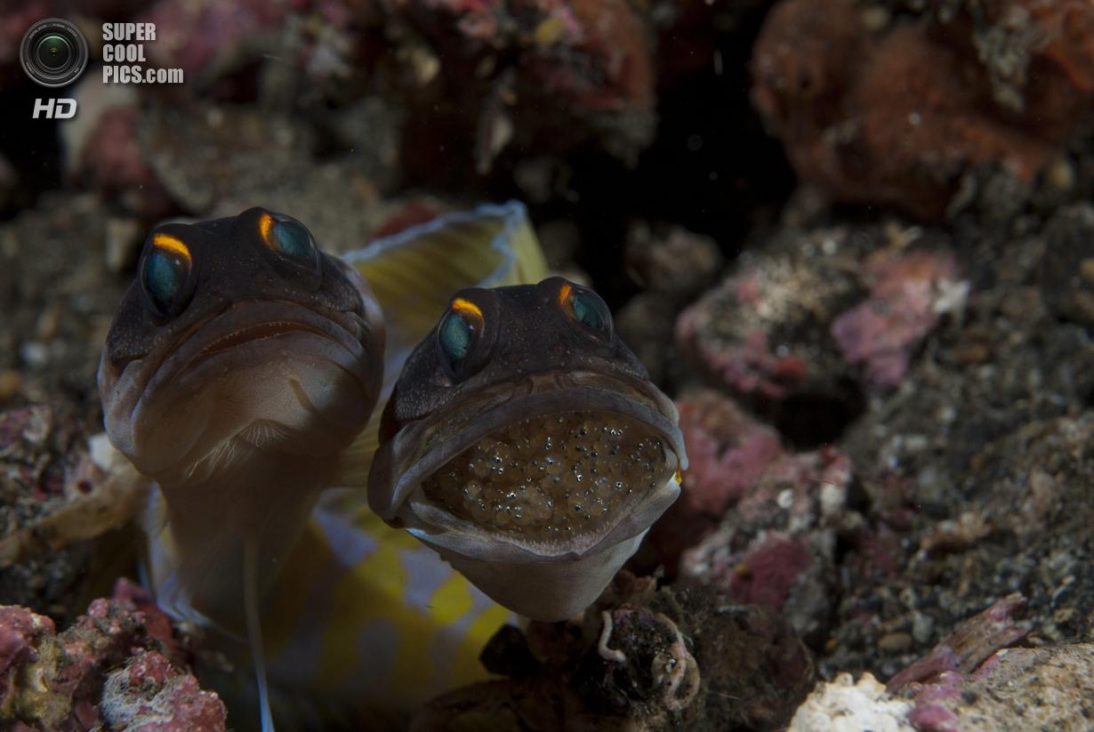 Категория: Macro/Swimming. 3 место. (Uwe Schmolke/UnderwaterPhotography.com)