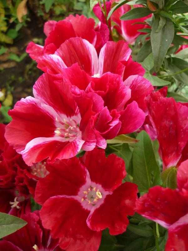Прелестница годеция цветет и пахнет. Полюбуемся?