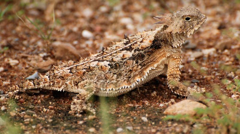 Жабовидные ящерицы стреляют кровью из глаз Способность, в мире, животные, природа, супергерои, суперспособности, удивительно