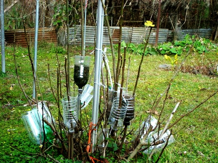 Старый легкий способ размножения деревьев и кустарников