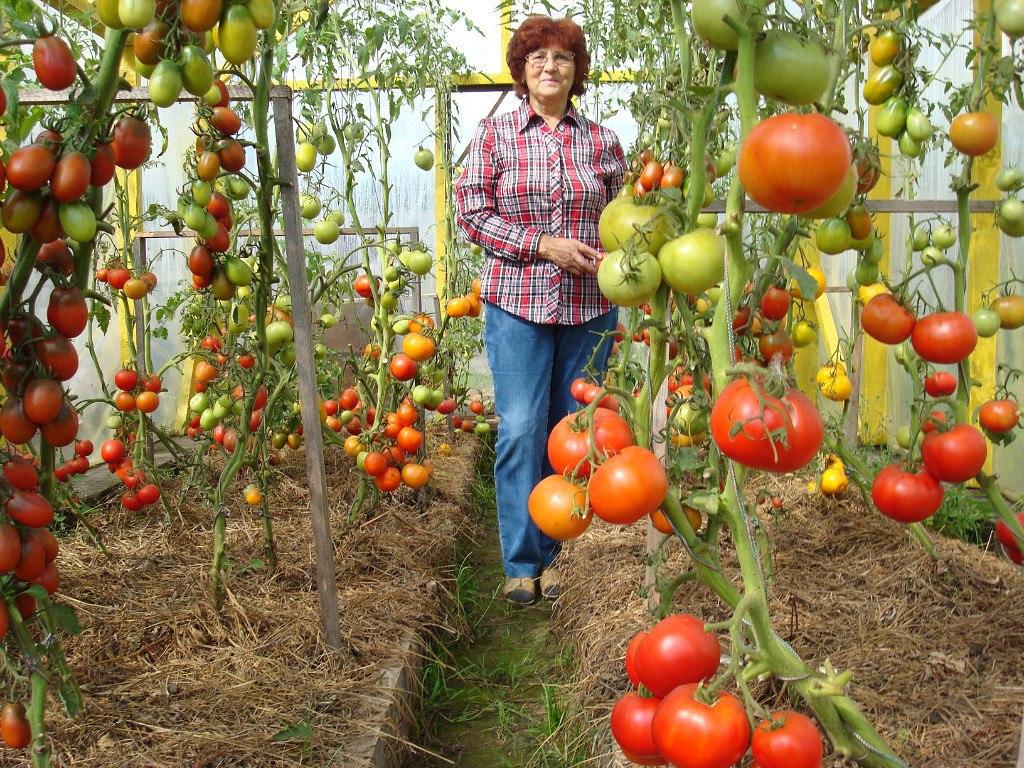 Выращивание томатов и помидоров 607