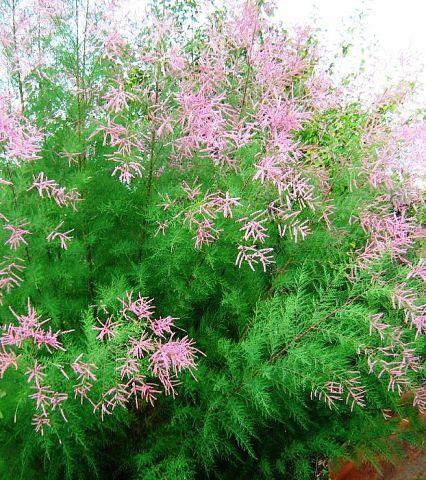 Тамарикс и Мирикария — яркие и пушистые кустарники