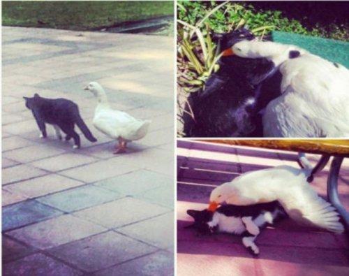 Странные и невероятные примеры дружбы животных дружба, животные