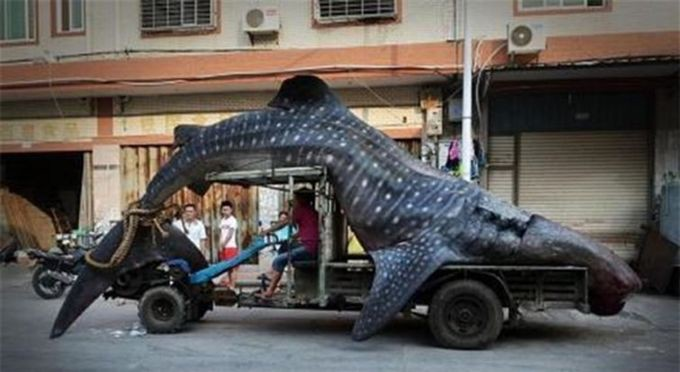 6. Китовая акула. Неплохой улов. животные, природа