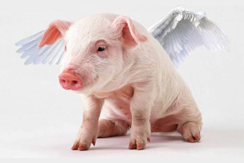 С крыльями свинья песни, смех, юмор