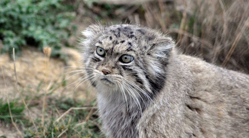 Манул в мире, живность, животные, интересное, коты, кошки, подборка, хищник