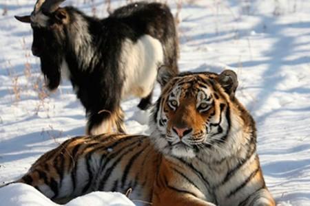 Тигр Амур и козел Тимур. Чуд…