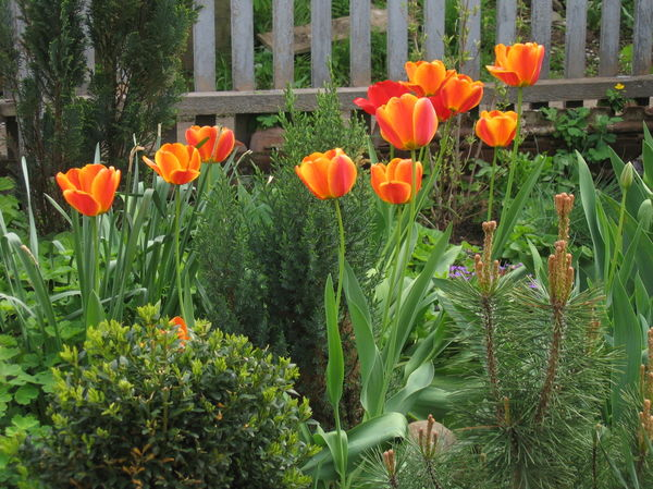 Карликовые хвойные и тюльпаны
