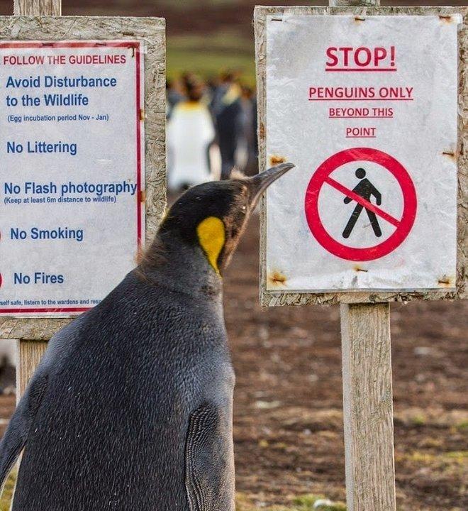 Как мины спасли пингвинов