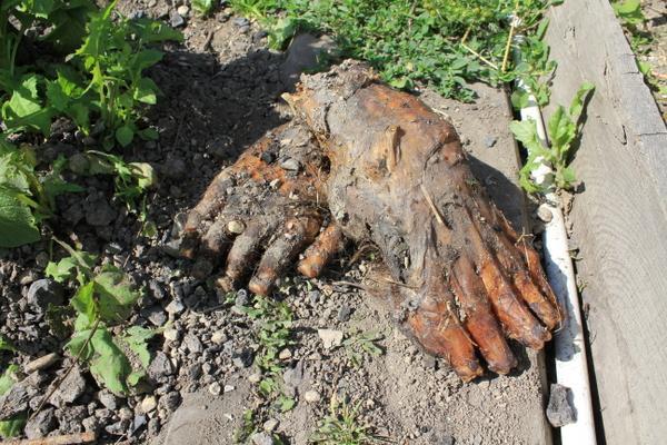 Жительница Серова нашла у себя в огороде странные лапы